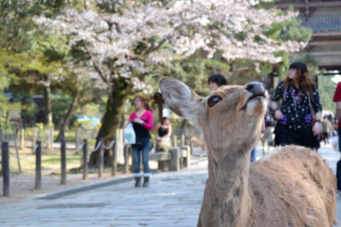 Guía viaje japón, nara, ciervos